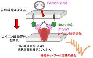 Microsoft PowerPoint - フ?レスリリース用図KeikoMY v2.pp
